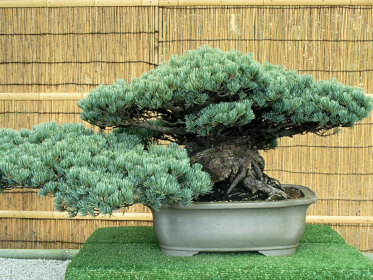 Slide Bonsai e Penjing