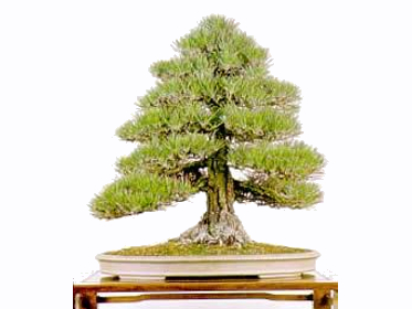 I principi fondamentali dell'arte Bonsai